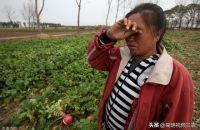 """蔬菜价格""""7连降""""!大白菜创5年来新低!菜农朋友们能挺住吗?"""