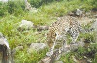 秦岭野生金钱豹种群稳定 且活动范围不断扩大